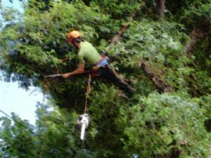 tree runing Memphis