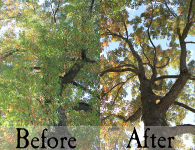 Tree-thinning-clean out-trimming-memphis