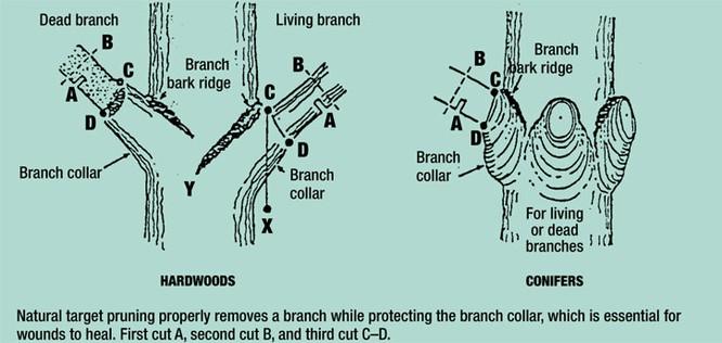 the proper process of pruning Tree experts andrew pleninger and chris luley created the abcs field guide to young and small tree pruning to help guide the pruning process  the proper cuts.