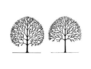 Tree Elevating Bartlett